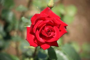 大輪の薔薇の写真素材 [FYI00554653]