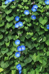 群生する青い朝顔の写真素材 [FYI00554729]