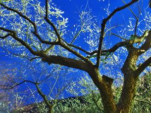 梅まつりのライトアップの写真素材 [FYI00559949]