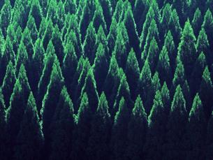 杉林の写真素材 [FYI00560042]