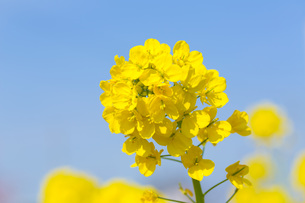 菜の花の写真素材 [FYI00560069]