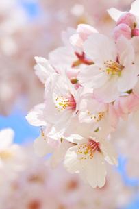 桜の花アップの写真素材 [FYI00560071]