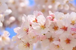 桜の花アップの写真素材 [FYI00560072]