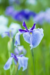 雨上がりの花菖蒲の写真素材 [FYI00560081]