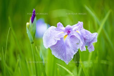 雨上がりの花菖蒲の写真素材 [FYI00560086]