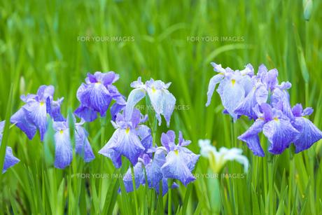 雨上がりの花菖蒲の写真素材 [FYI00560087]