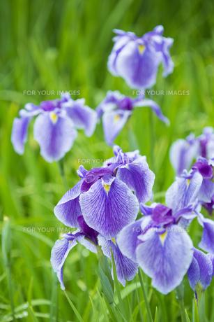 雨上がりの花菖蒲の写真素材 [FYI00560088]