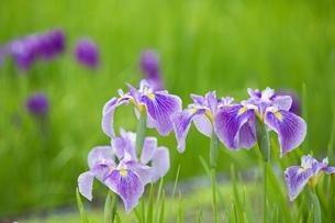 雨上がりの花菖蒲の写真素材 [FYI00560089]