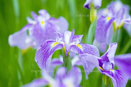 雨上がりの花菖蒲の写真素材 [FYI00560091]