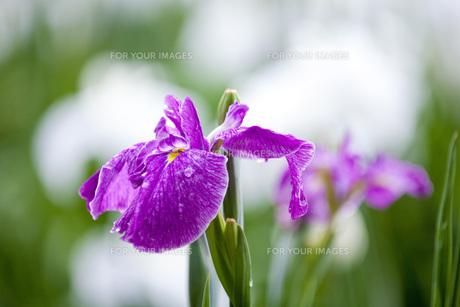 雨上がりの花菖蒲の写真素材 [FYI00560107]