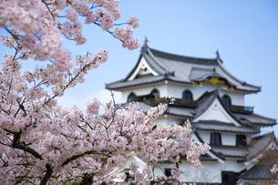桜咲く彦根城の写真素材 [FYI00560141]