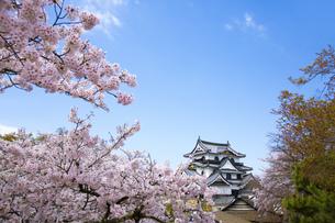 桜咲く彦根城の写真素材 [FYI00560143]