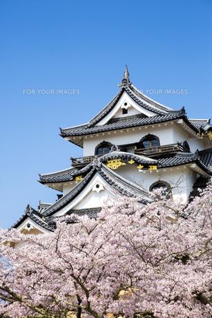 桜咲く彦根城の写真素材 [FYI00560148]