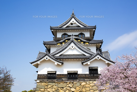 桜咲く彦根城の写真素材 [FYI00560149]