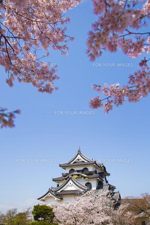 桜咲く彦根城の写真素材 [FYI00560155]