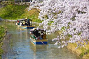 近江八幡の水郷めぐりの写真素材 [FYI00560167]
