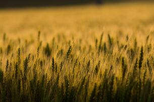 色づいた麦の穂の写真素材 [FYI00560188]