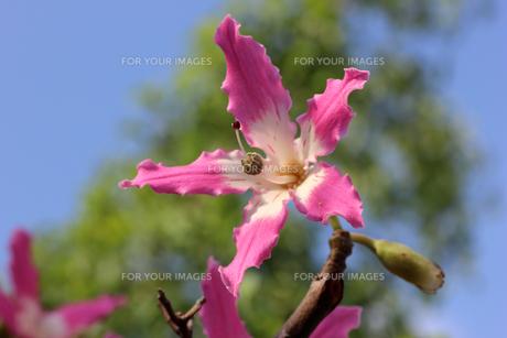 トックリキワタの花の写真素材 [FYI00560200]