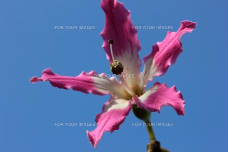 トックリキワタの花の写真素材 [FYI00560209]