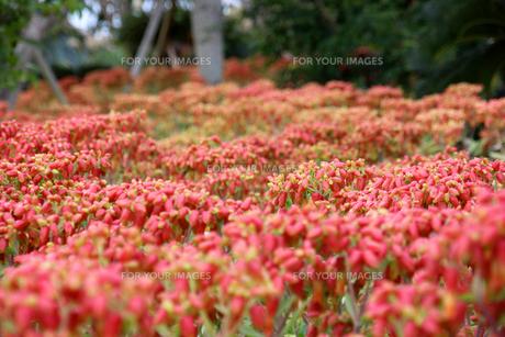 赤い花の群生の写真素材 [FYI00560211]