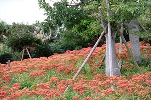 赤い花の群生の写真素材 [FYI00560213]