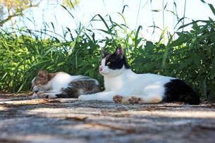 くつろぐ猫の写真素材 [FYI00560343]
