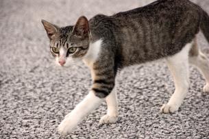 サバトラの子猫の写真素材 [FYI00560350]