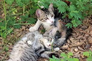 子猫の兄弟の写真素材 [FYI00560353]