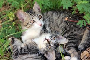 子猫の兄弟の写真素材 [FYI00560357]