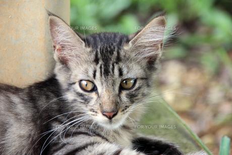 サバトラの子猫の写真素材 [FYI00560358]