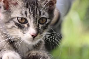 サバトラの子猫の写真素材 [FYI00560359]