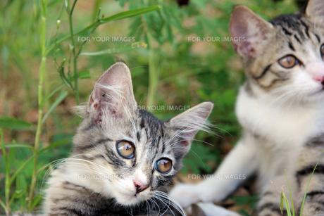 子猫の兄弟の写真素材 [FYI00560360]