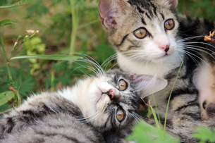 子猫の兄弟の写真素材 [FYI00560362]