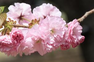 満開の八重桜 - 関山 -の写真素材 [FYI00560363]