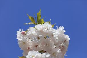 満開の八重桜 - 普賢象 -の写真素材 [FYI00560364]