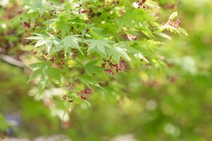 花咲く紅葉の写真素材 [FYI00560365]