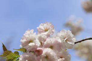 満開の八重桜 - 一葉 -の写真素材 [FYI00560366]