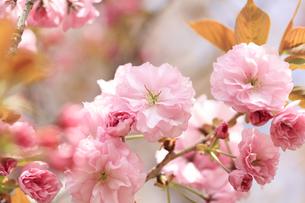 満開の八重桜 - 関山 -の写真素材 [FYI00560367]