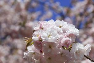 満開の八重桜 - 普賢象 -の写真素材 [FYI00560368]