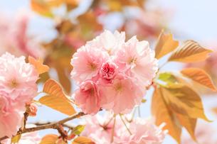 満開の八重桜 - 一葉 -の写真素材 [FYI00560370]