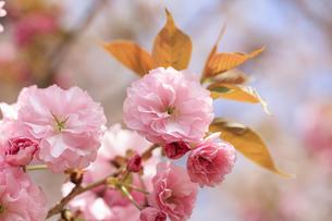 満開の八重桜 - 関山 -の写真素材 [FYI00560371]