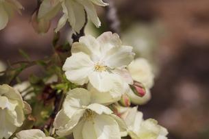 満開の八重桜 - 鬱金 -の写真素材 [FYI00560376]