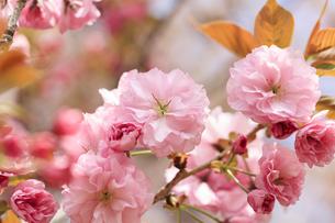 満開の八重桜 - 関山 -の写真素材 [FYI00560377]