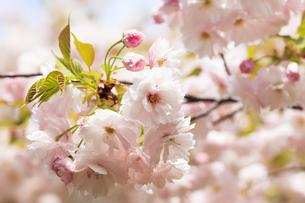 満開の八重桜 - 関山 -の写真素材 [FYI00560378]