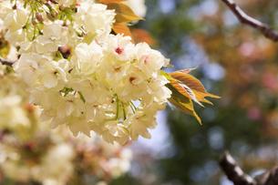 満開の八重桜 - 鬱金 -の写真素材 [FYI00560379]