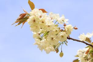 満開の八重桜 - 鬱金 -の写真素材 [FYI00560380]