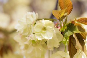 満開の八重桜 - 鬱金 -の写真素材 [FYI00560381]