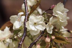 満開の八重桜 - 鬱金 -の写真素材 [FYI00560382]
