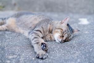 ねそべる猫の写真素材 [FYI00560389]