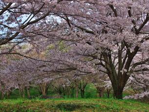 根府川の桜の写真素材 [FYI00560435]